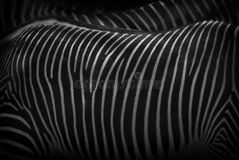 Las cebras que colocan cierre junto ilustran modelar usado para protegerlos contra depredadores imagen de archivo libre de regalías