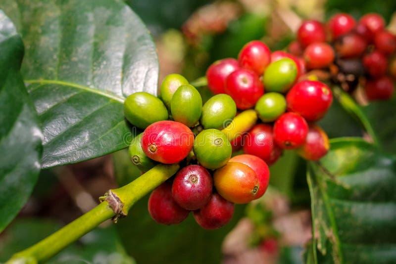 Las cerezas de las bayas de café crecen en racimos a lo largo de la rama de t imagen de archivo