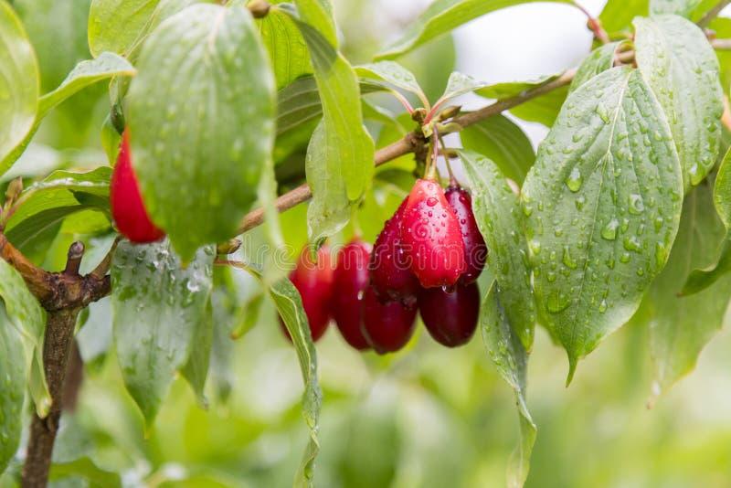 Las cerezas de cornalina rojas maduras llamaron también el cornel o el cornejo en la rama Fruta del Cornus Las bayas del cornejo  imagenes de archivo