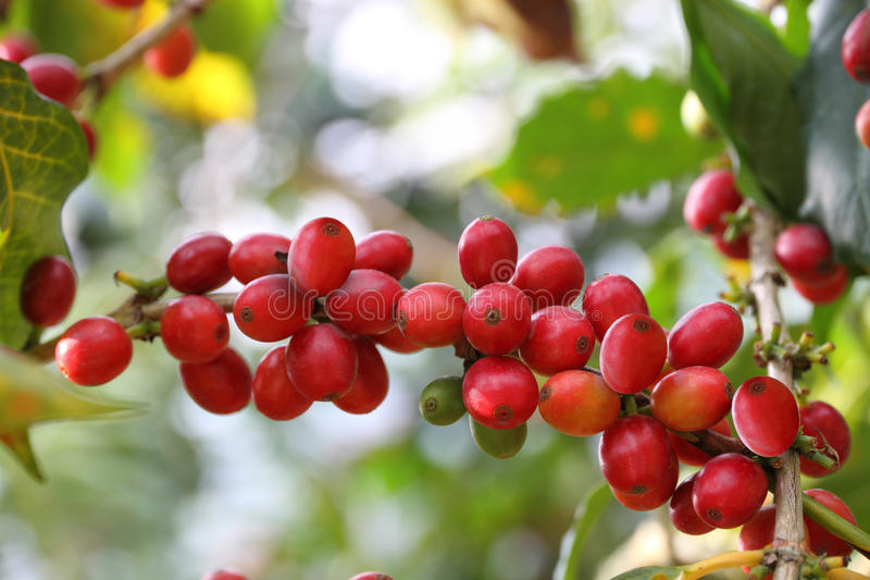 Las cerezas del café se cierran para arriba imagenes de archivo