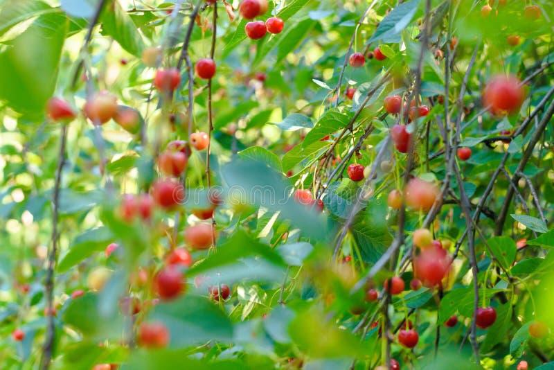 Las cerezas dulces en una rama en un verano cultivan un huerto foto de archivo libre de regalías
