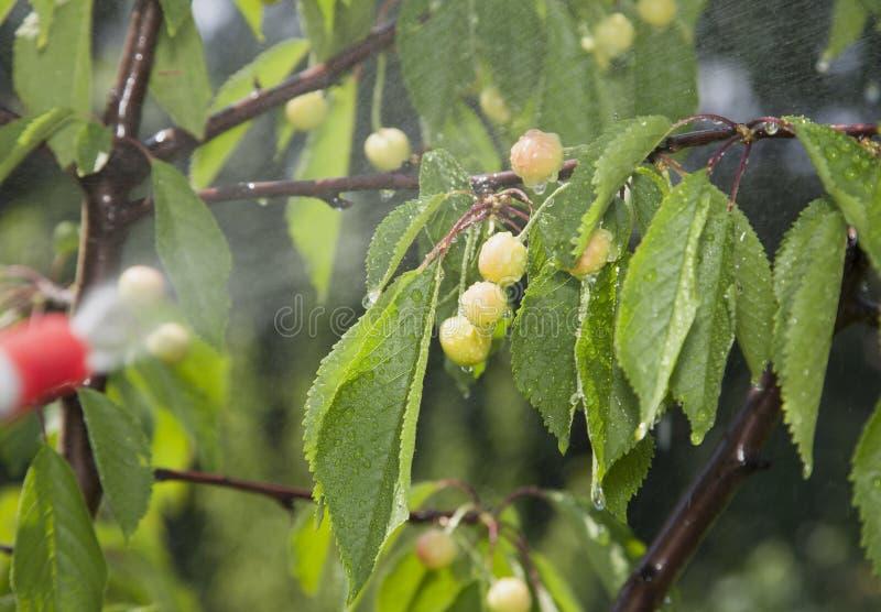 Las cerezas inmaduras de las bayas son pesticidas procesados imagenes de archivo
