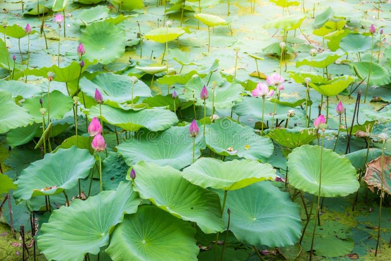 Las charcas de Lotus del asiático ajardinan en el lago en campo pacífico y reservado imagenes de archivo