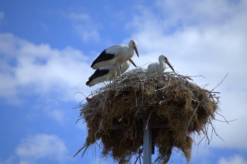 Las cigüeñas se dirigen fotografía de archivo