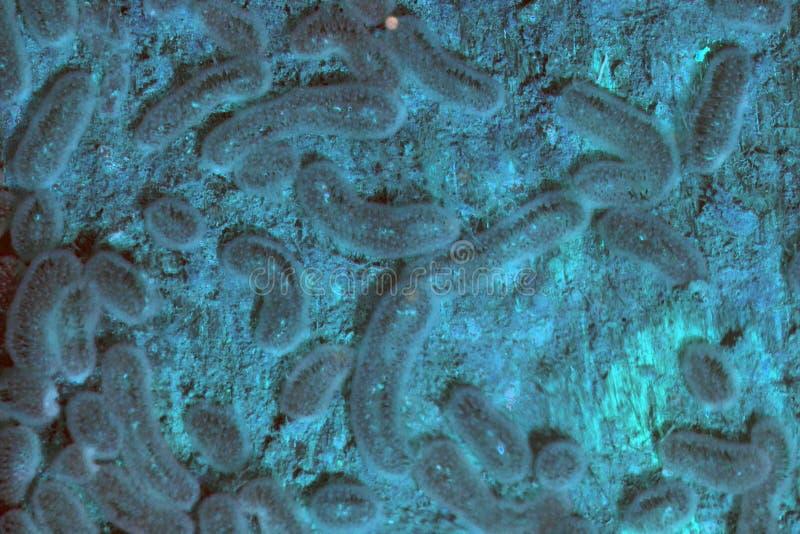 Las colonias de tipo salvaje bacterias que expresan azul y rosado amarillos expresan fotos de archivo libres de regalías