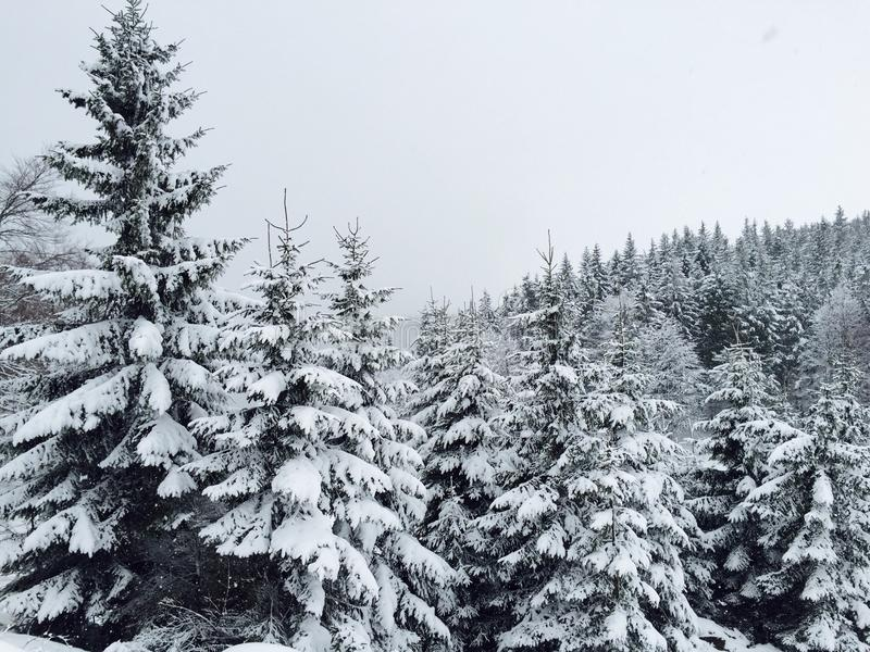 Las conifers zakrywający w śniegu w zimie fotografia royalty free