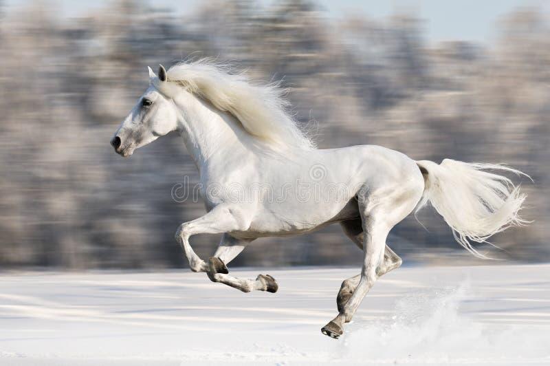 Las corridas del caballo blanco galopan en el invierno, movimiento de la falta de definición foto de archivo libre de regalías
