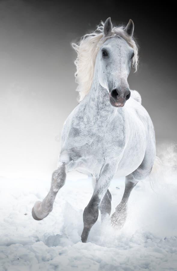 Las corridas del caballo blanco galopan en invierno imágenes de archivo libres de regalías