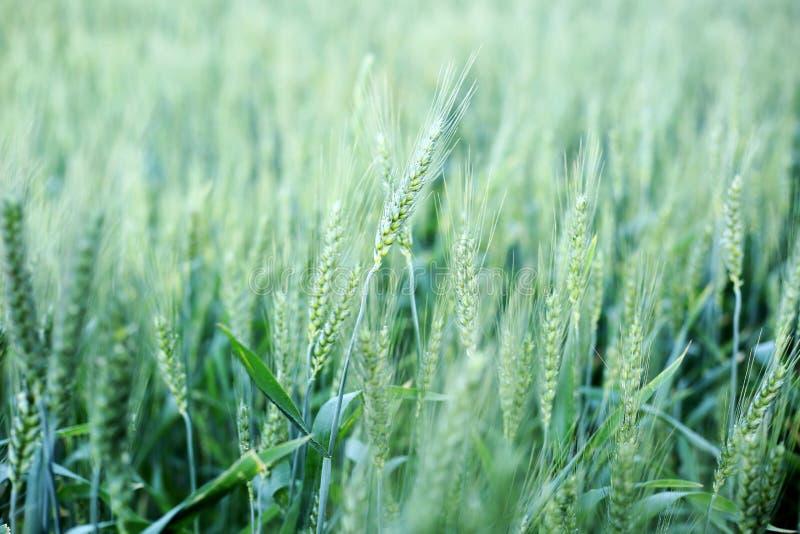 Las cosechas del trigo miden el tiempo para cortar en el mes de Punjab abril para celebran baisakhi fotos de archivo libres de regalías