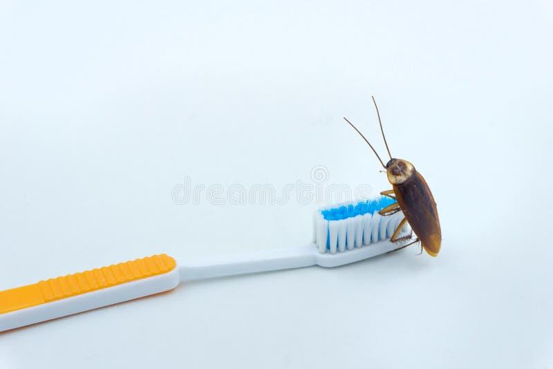 Las cucarachas asiáticas están en el cepillo de dientes fotos de archivo