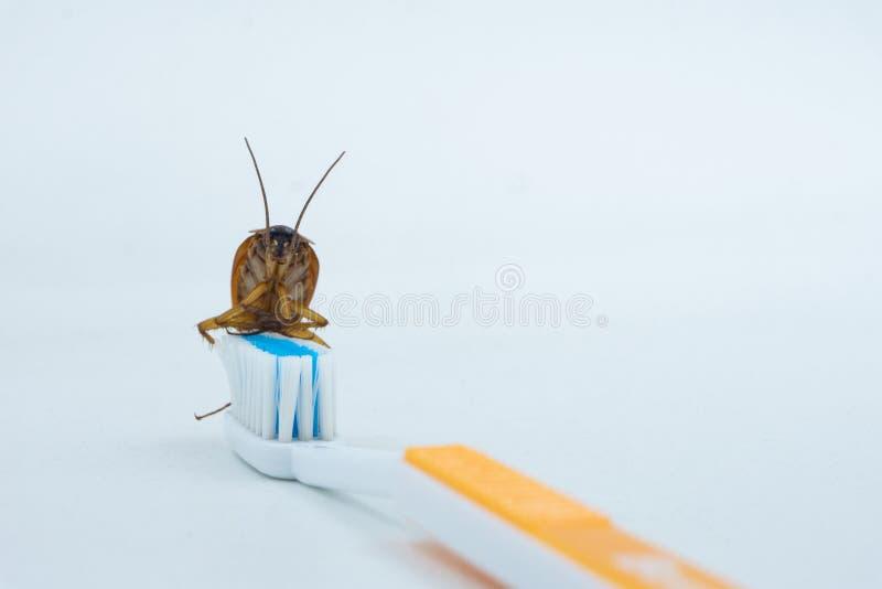 Las cucarachas asiáticas están en el cepillo de dientes foto de archivo libre de regalías