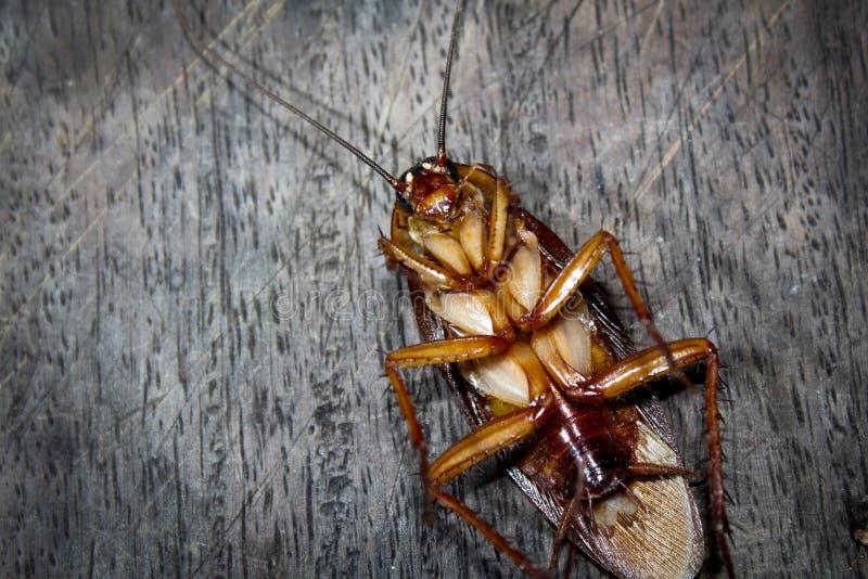 Las cucarachas mienten los muertos en el piso de madera, cucaracha muerta, cercana encima de cara, se cierran encima de cucaracha fotografía de archivo
