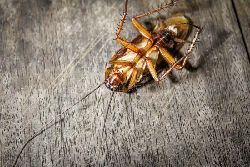Las cucarachas mienten los muertos en el piso de madera, cucaracha muerta, cercana encima de cara, se cierran encima de cucaracha imagen de archivo libre de regalías