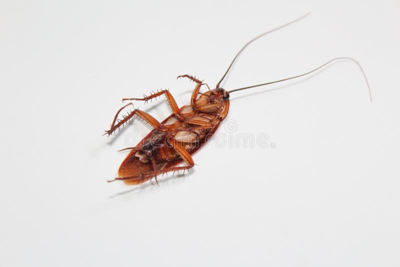 Las cucarachas mienten los muertos en el piso de madera, cucaracha muerta, cercana encima de cara, se cierran encima de cucaracha foto de archivo