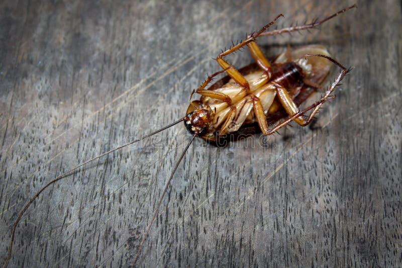 Las cucarachas mienten los muertos en el piso de madera, cucaracha muerta, cercana encima de cara, se cierran encima de cucaracha imagen de archivo