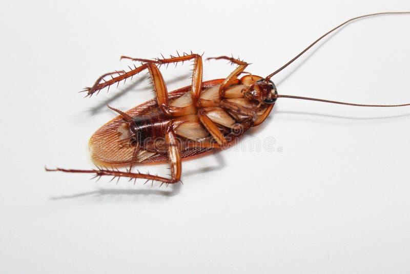 Las cucarachas mienten los muertos en el piso de madera, cucaracha muerta, cercana encima de cara, se cierran encima de cucaracha fotos de archivo