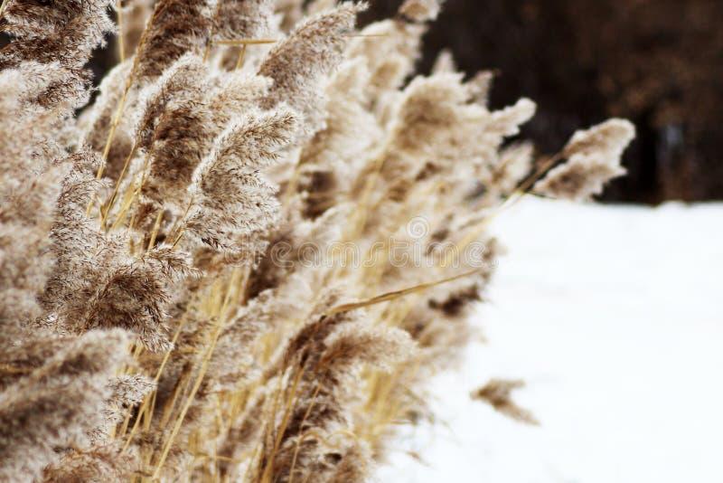 Las cuchillas de la hierba secas en nieve empañan el fondo del bosque foto de archivo libre de regalías