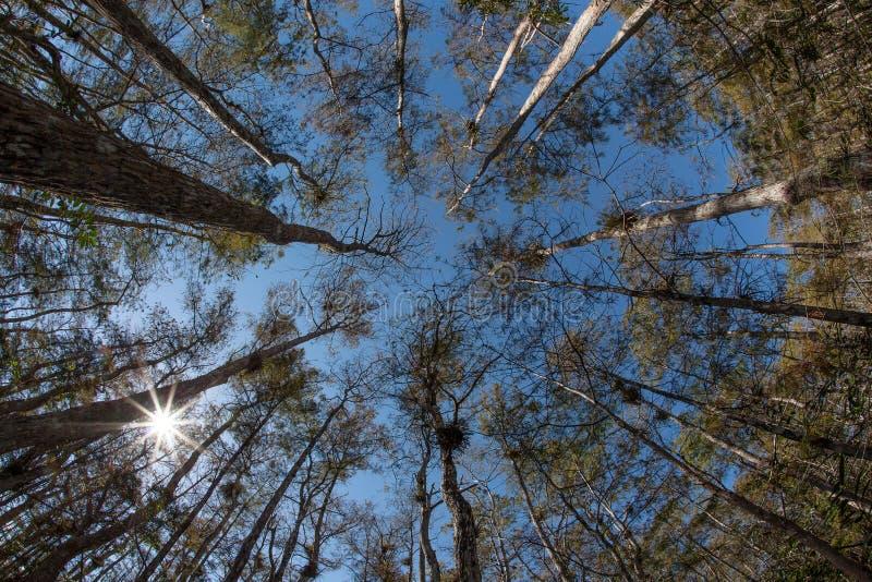 Las cyprysowi drzewa obrazy royalty free