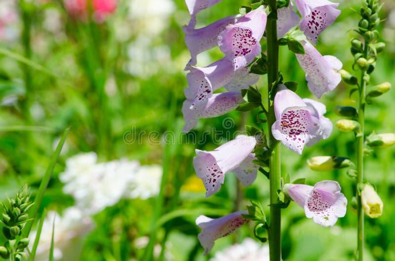 Las dedaleras púrpuras hermosas florecen en una estación de primavera en un jardín botánico fotos de archivo libres de regalías