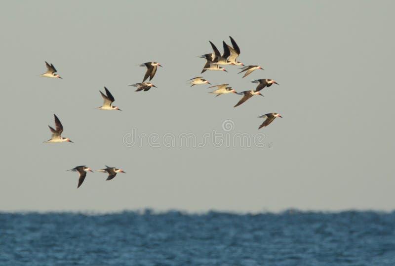 Las desnatadoras negras realizan una rutina acrobática del vuelo sobre la playa foto de archivo libre de regalías