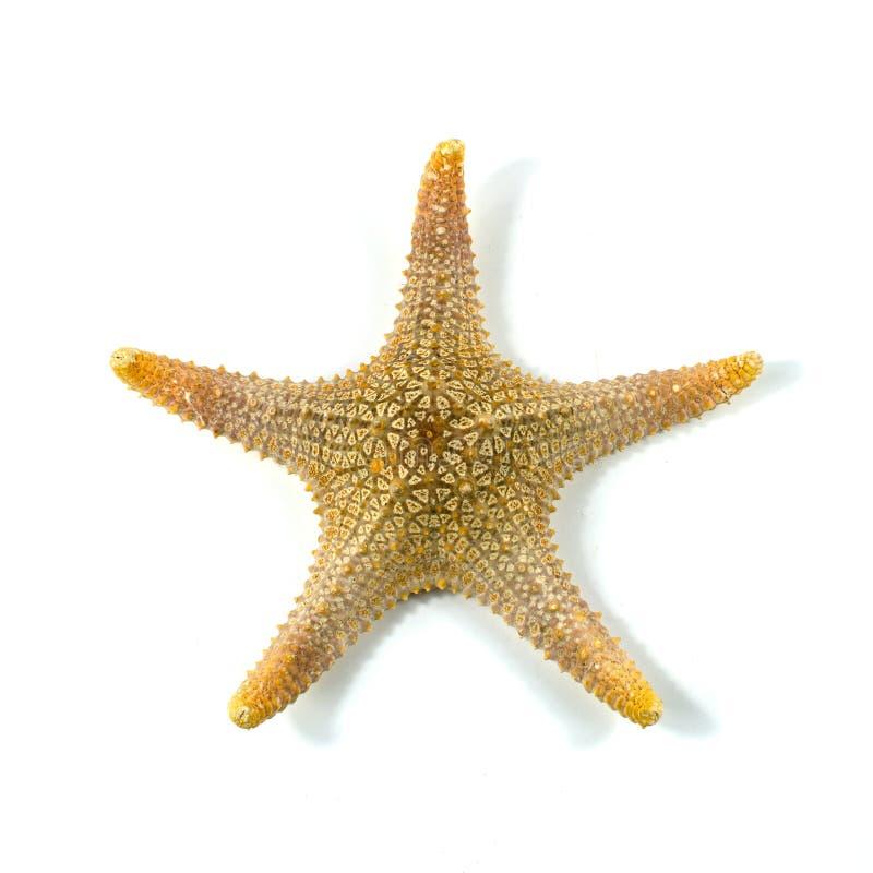 Las estrellas de mar del Caribe en un fondo blanco foto de archivo libre de regalías
