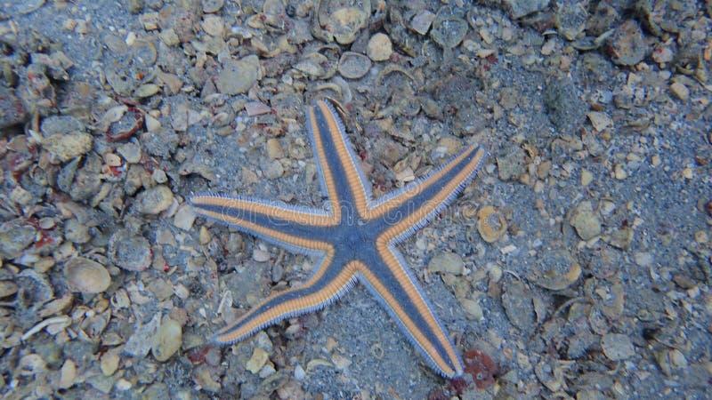 Las estrellas de mar reales encontraron buceo con escafandra del rato foto de archivo libre de regalías