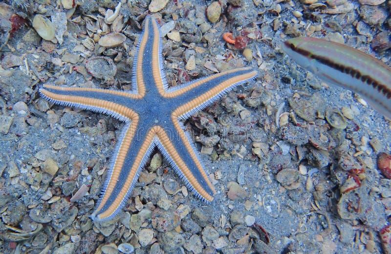 Las estrellas de mar reales encontraron buceo con escafandra del rato imagenes de archivo