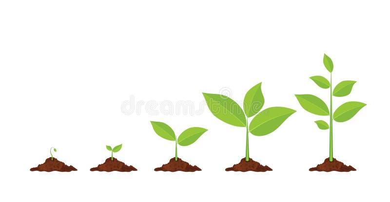 Las fases plantan el crecimiento ilustración del vector