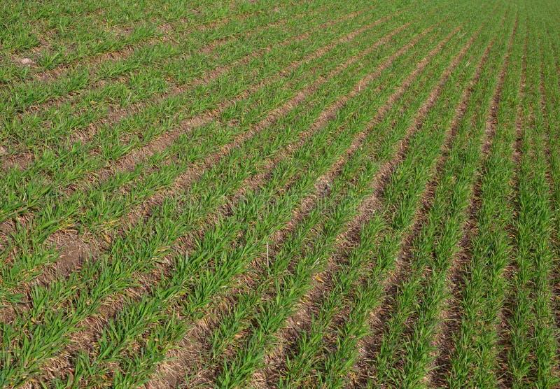Las filas de la agricultura verde colocan el nuevo crecimiento de la hierba de los brotes frescos imágenes de archivo libres de regalías