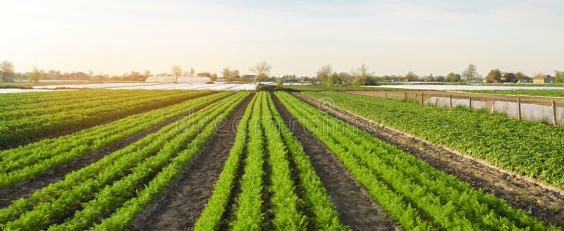 Las filas de zanahorias jovenes crecen en el campo Veh?culos org?nicos Agricultura Granja Foco selectivo foto de archivo