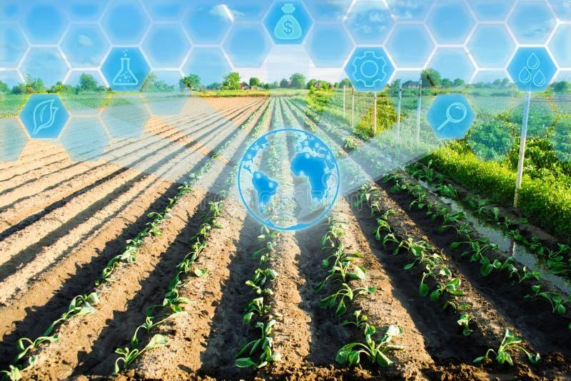 Las filas vegetales de la col joven crecen en el campo Cultivo, agricultura Agroindustria Innovaciones en agricultura De alta tec foto de archivo