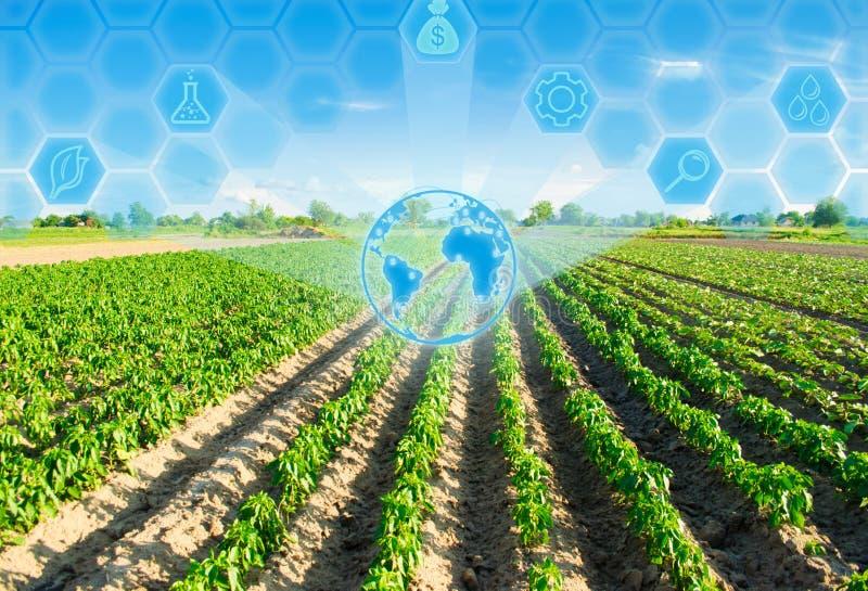 Las filas vegetales de la pimienta crecen en el campo Cultivo, agricultura Paisaje con la región agrícola Innovaciones en agricul foto de archivo