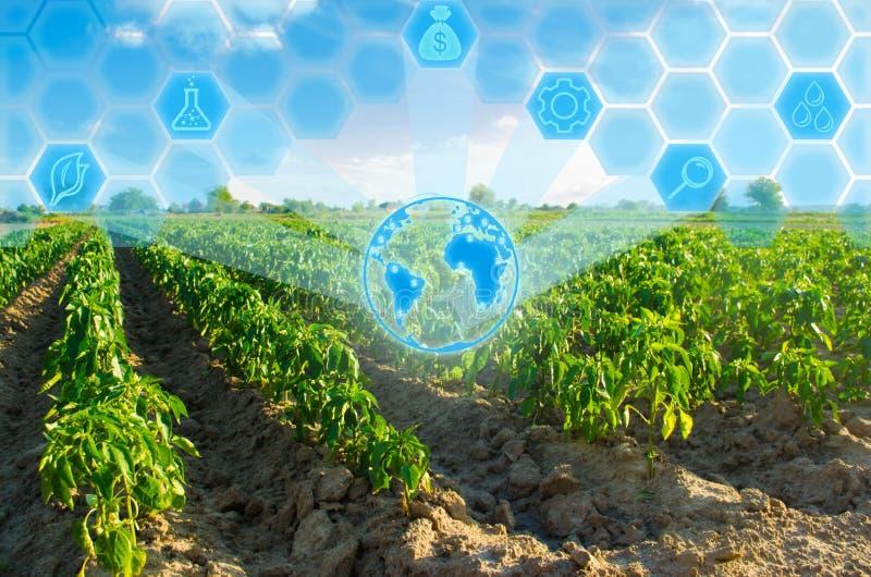 Las filas vegetales de la pimienta crecen en el campo Cultivo, agricultura Paisaje con la región agrícola Innovaciones en agricul fotos de archivo