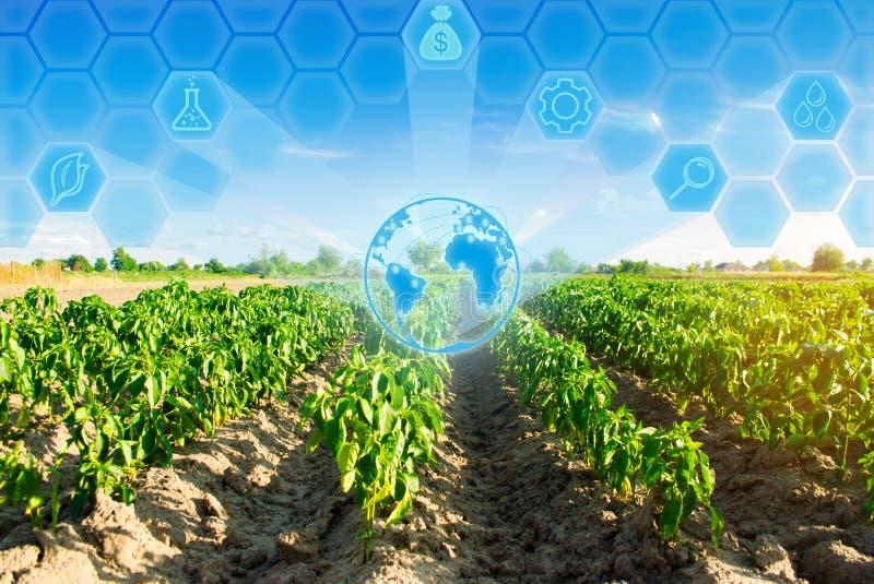 Las filas vegetales de la pimienta crecen en el campo Cultivo, agricultura Paisaje con la región agrícola Innovaciones en agricul fotos de archivo libres de regalías