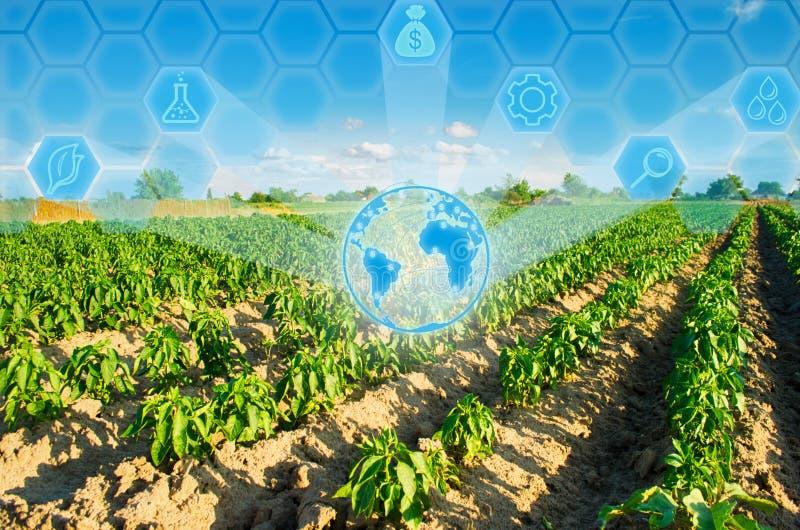 Las filas vegetales de la pimienta crecen en el campo Cultivo, agricultura Paisaje con la región agrícola Innovaciones en agricul imágenes de archivo libres de regalías