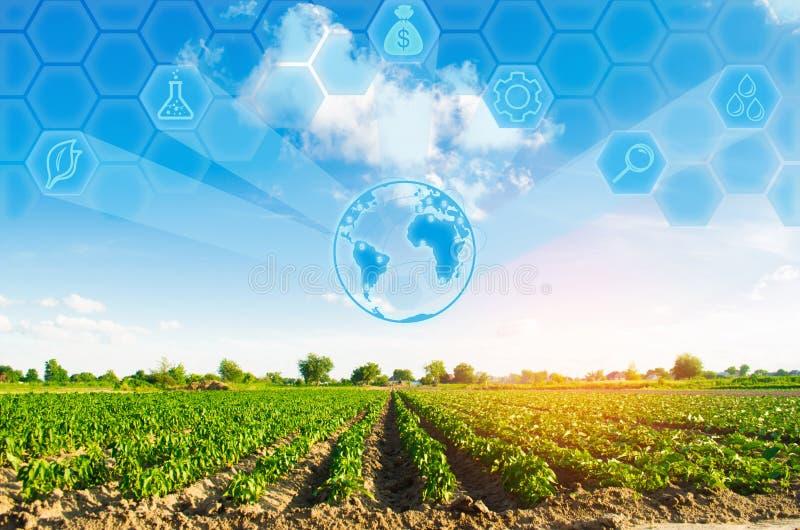 Las filas vegetales de la pimienta crecen en el campo Cultivo, agricultura Paisaje con la región agrícola Innovaciones en agricul fotografía de archivo libre de regalías