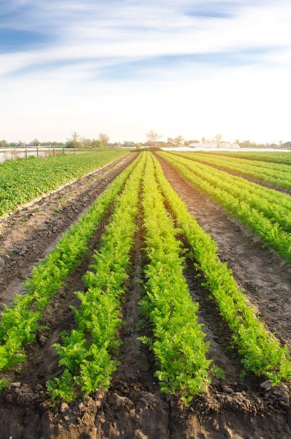 Las filas vegetales de zanahorias jovenes crecen en el campo Crecimiento agrícola cosechas Paisaje hermoso en la plantación Agric fotos de archivo