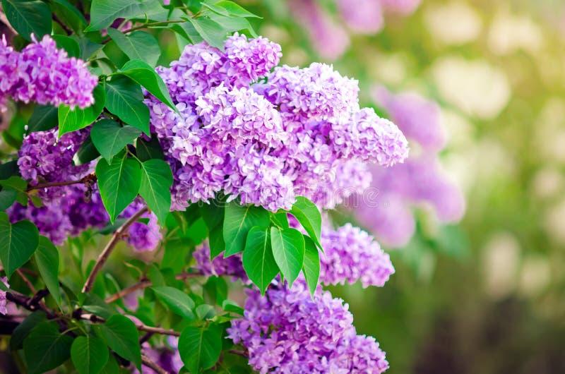 Las floraciones del arbusto de lila del jard?n en la primavera primer, foco selectivo fotografía de archivo
