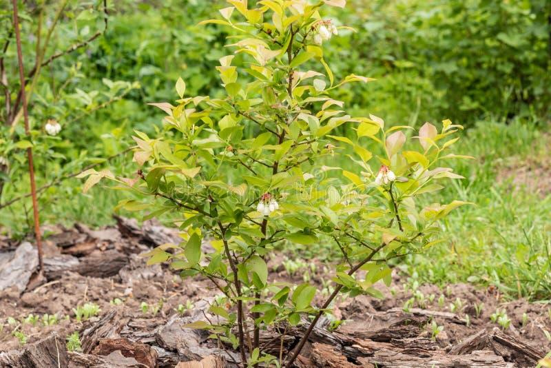 Las floraciones europeas del uliginosum del Vaccinium de Bush de ar?ndano en el jard?n adentro pueden Arbustos jovenes con las fl imágenes de archivo libres de regalías