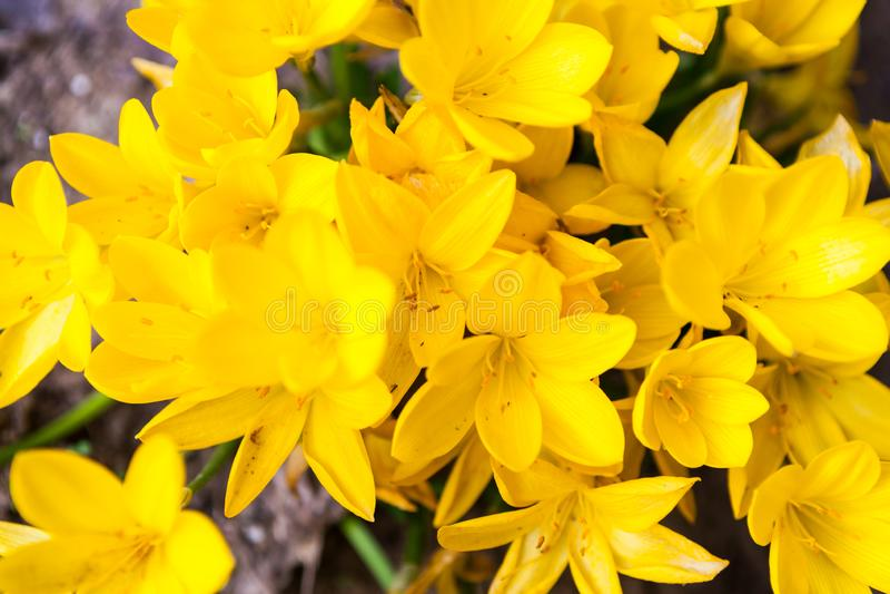 Las flores amarillas de la primavera del azafrán se cierran para arriba foto de archivo