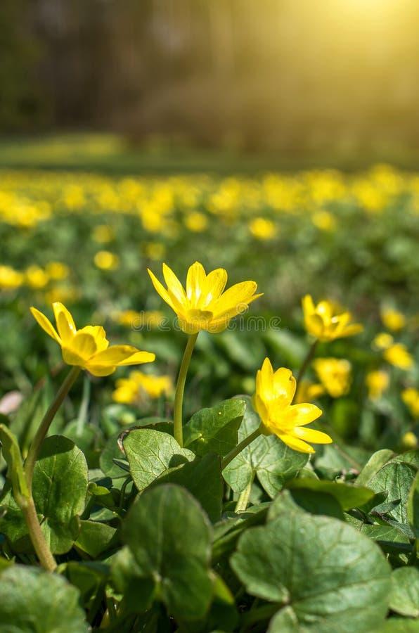 Las flores amarillas de la primavera se cierran para arriba foto de archivo libre de regalías