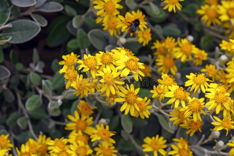 Las flores amarillas del greyi de Brachyglottis, también llamaron el greyi de Senecio, con el arbusto de margarita común del nomb imagen de archivo libre de regalías