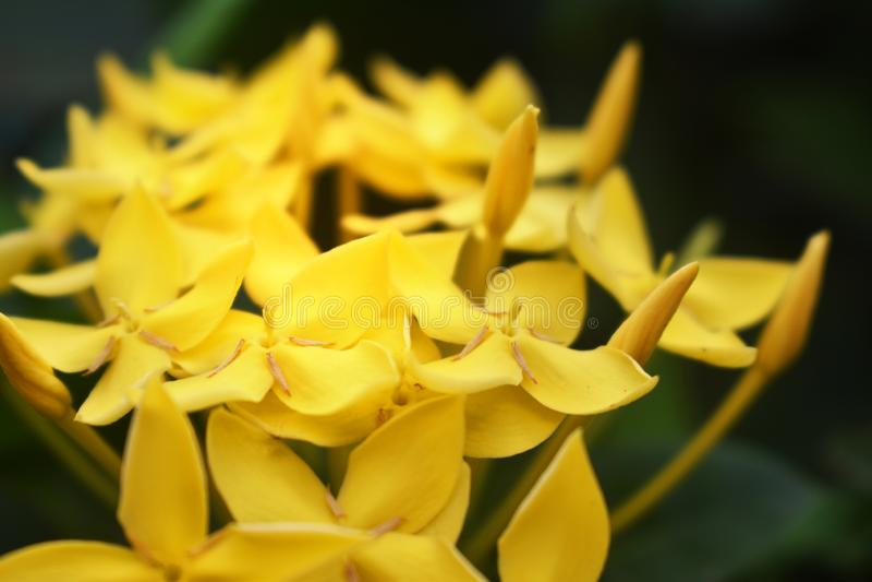 Las flores amarillas del punto de Ixora spp florecen en jardines hermosos foto de archivo