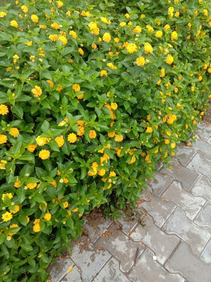 Las flores amarillas parecen como la sonrisa imagen de archivo