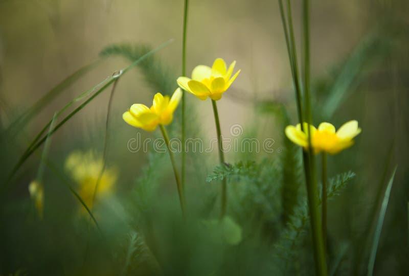 Las flores amarillas se cierran para arriba foto de archivo