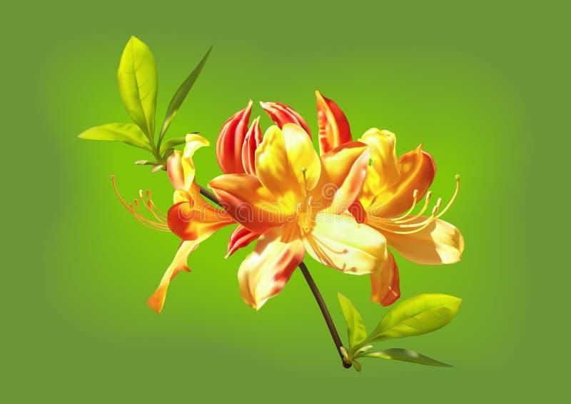 Las flores amarillo-naranja del rododendro ilustración del vector