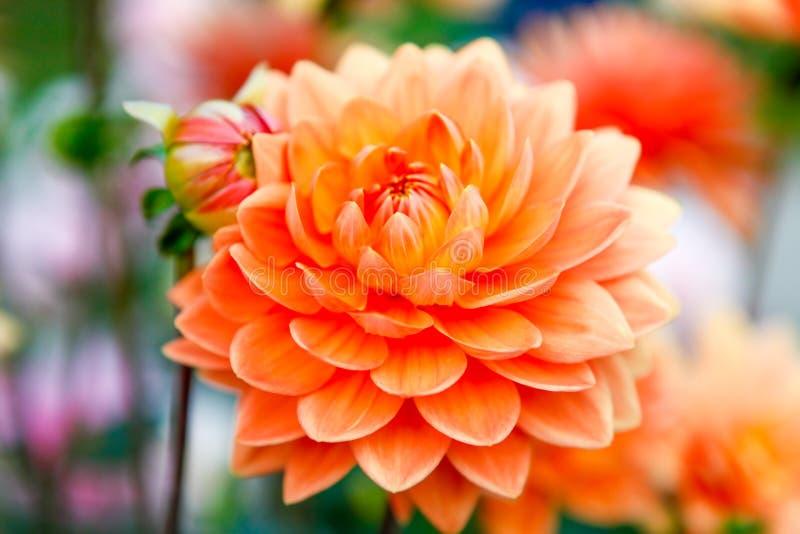 Las flores anaranjadas de la dalia en desafío del punto parquean en Tacoma fotos de archivo libres de regalías