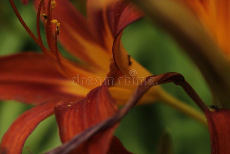 Las flores anaranjadas del lirio forran cercano para arriba en verano fotos de archivo libres de regalías