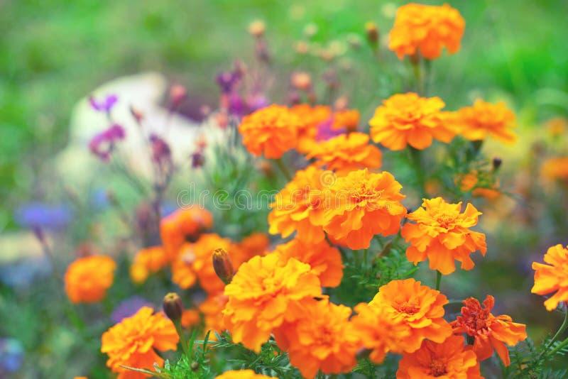 Las flores anaranjadas del otoño en los tagetis de tierra florecen en fila fondo borroso natural del foco selectivo de la planta  imagen de archivo