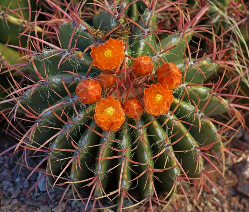 Las flores anaranjadas del rojo derrocharon el cactus de barril fotos de archivo